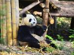 You'll soon be able to fly nonstop from Boston to China's panda capital