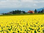 Washington's flower season has returned: One grower ships 70 million blooms per year