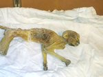 Dayton's mummified monkey's next stop is the Science Museum