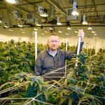 Growing pains: California cannabis farmers struggle with whether to go legit
