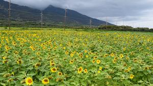 Pacific Biodiesel taps sunflower farm tours to expand agritourism model