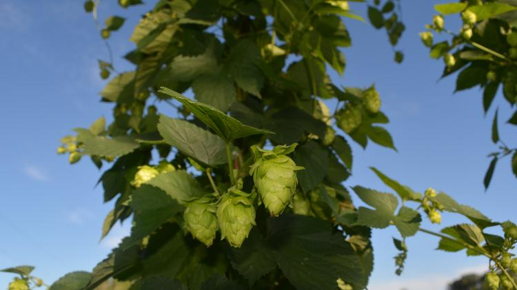 Central Florida Hops Is The First Hopyard In Orange County And S Only Commercial Using