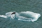 A seal takes a nap on an iceberg broken off from Hubbard glacier during our week's NCL cruise. I took this photo from our room balcony.