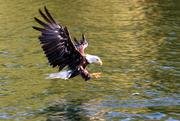A bald eagle goes in for the catch as a fish surfaces.