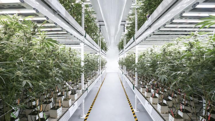 Cans Being Grown With Lights Manufactured By Austin S Fluence Bioengineering Account For A