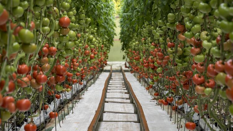 Kawamata Farms Seeks Er For 17 Acre Island Tomato