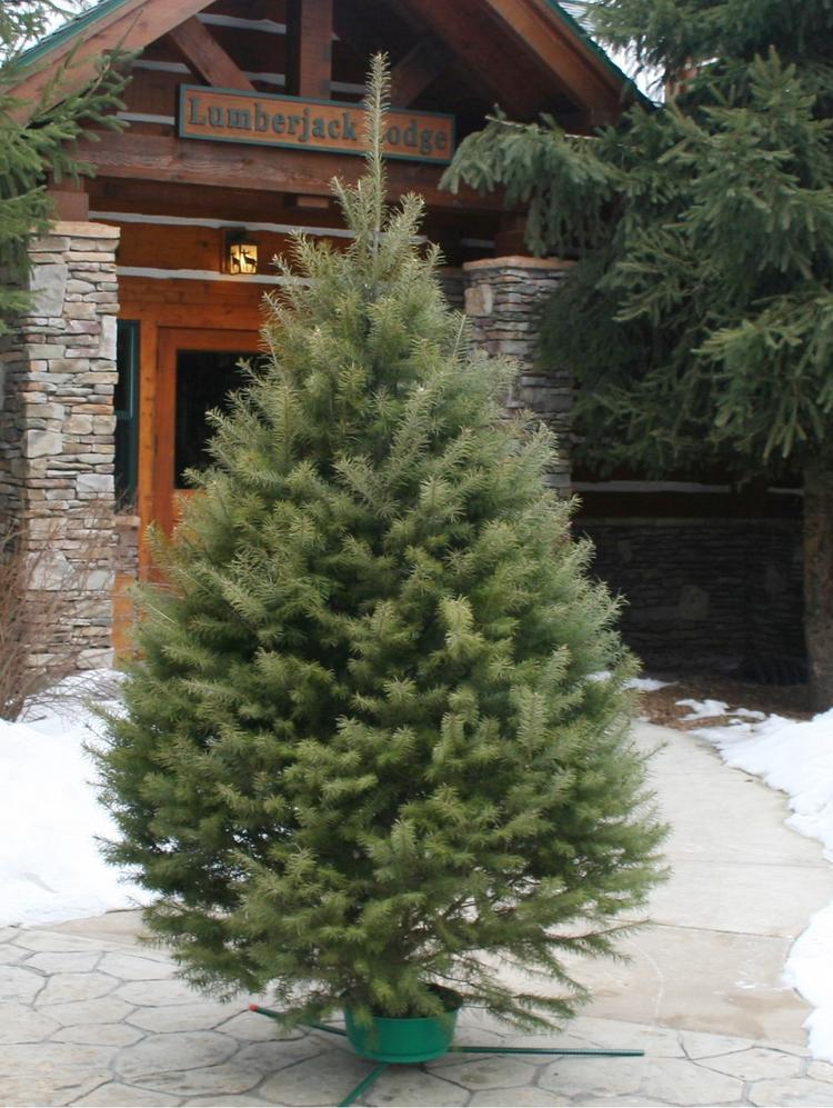 Fresh Cut Christmas Trees Near Me.Hallmark Cards Is Selling Fresh Cut Christmas Trees Kansas