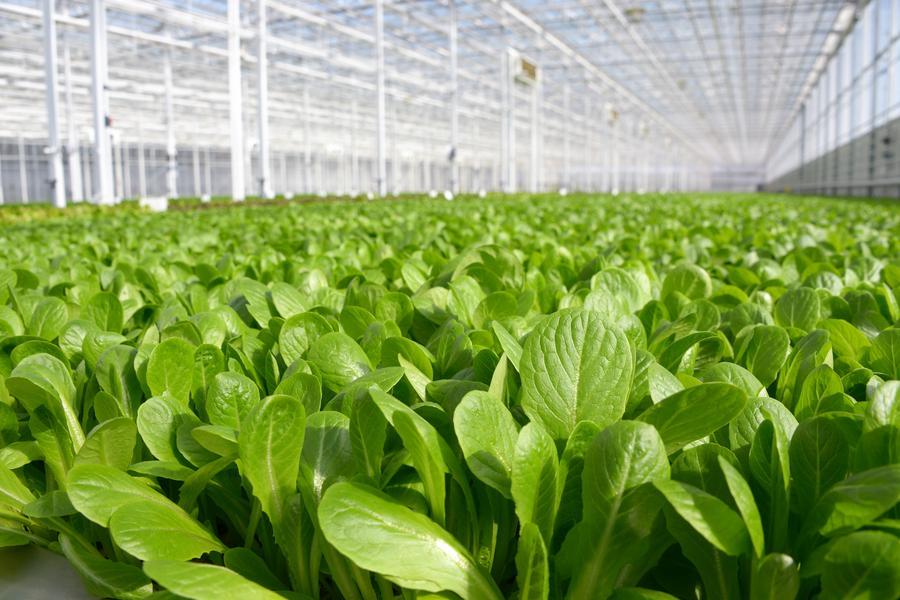 greenhouse lettuce crop
