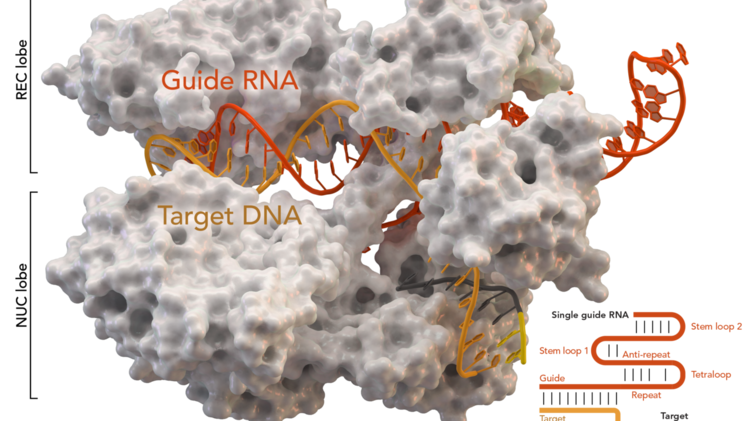 UPenn human gene-editing study trials CRISPR cancer