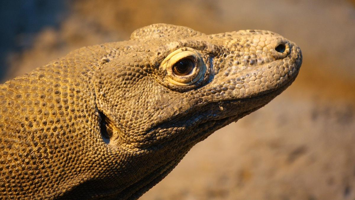 Komodo dragon - Wikipedia   676x1200