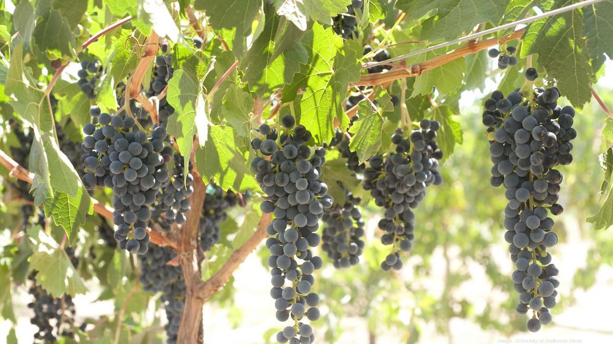 Uc Davis Releases New Wine Grape
