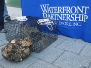 The oyster gardens are part of the Waterfront Partnership of Baltimore Inc.'s Healthy Harbor initiative, which aims to have the harbor swimmable and fishable by 2020.