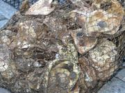 About 37,500 baby oysters will grow in five oyster gardens around the Inner Harbor.