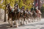 Budweiser Clydesdales coming to Tampa Bay