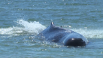 Beached sperm whale in Madeira Beach euthanized (Video)
