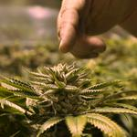 From the seeds to the buds: Confusion reigns on what Amendment 2 means to business
