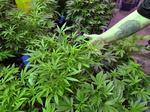Marijuana use OK, but keep it private, says Colorado survey