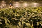 More on the cover story: Marijuana businesses can get insurance, but it's pricey