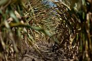 Drought devastates corn, parched by sun. Photographer: Daniel Acker/Bloomberg