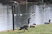 Geese enjoy the plentiful water at the Serrano Visitors Center in El Dorado Hills.