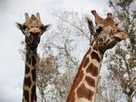 Check out Central Florida Zoo's new giraffe exhibit