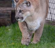 Neiko takes a morning walk around the perimiter of the enclosure. The panthers spend each night in indoor pens and are especially active in the mornings when they enter the outdoor environment.