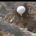 Alcoa EagleCam shows start of hatching
