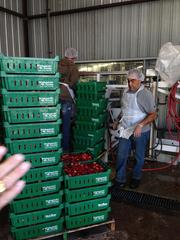 Strawberry staging area. Tim Minton (left) and Jose Rodriguez load berries into the processing area.