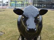 The last three cows from the shuttered Hilltop Steakhouse have taken up residence in Lynnfield.