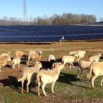 Sheep, solar combine to give sustainability a double reward for $10M Rowan project