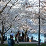 More than 1.5 million attended National Cherry Blossom Festival, less than in 2013