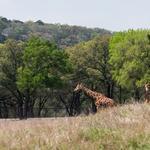 Tower Creek makes its debut at Natural Bridge Wildlife Ranch