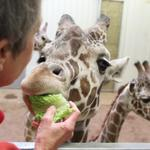 Heart of Africa gives zoo visitors up-close encounters with giraffes and rhino – SLIDESHOW