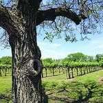 Smaller crop, smaller grapes in Livermore vineyards this year