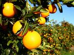 USDA's November citrus forecast unchanged from October