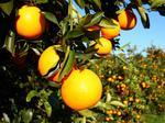 USDA increases its orange crop estimate again