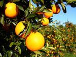 USDA decreases Florida orange crop estimate again