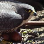 They're back: Falcons nesting at top of Wells Fargo tower in uptown Charlotte (VIDEO)
