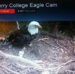 Survey: Bald eagle nesting at record levels in Georgia