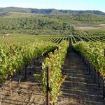 Vineyards look to reclaimed waste water to irrigate crops