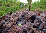 Mild, wet summer challenges NC vineyards' fall harvest