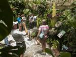 Sarasota's twin putrid-smelling flowers draw record crowds