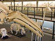 The Museum of Osteology will open alongside I-Drive 360 next spring.
