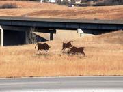 Three metal cutouts of bulls sit alongside Kansas Highway 10 in Lenexa.