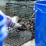 After surviving a year of wild weather, nearly 30,000 oysters are moving out of the Inner Harbor