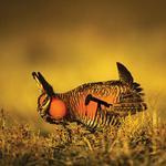 The lesser prairie chicken's greater effect
