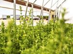 Grower of natural zero-calorie sweetener seeks $1.5M from investors