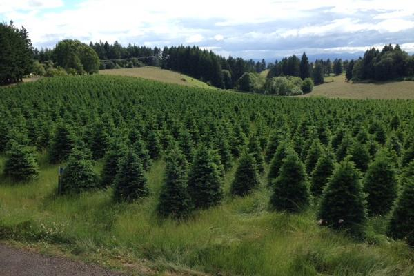 Jan. 19, 2020 And Christmas Tree And Sweet Home Oregon Oregon to supply the U.S. Capitol's next Christmas tree   Portland