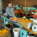 After a scare, Placer mandarin crop found not in danger