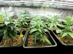 Md. marijuana growers that missed Monday deadline could get second chance